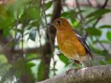 orange-headed thrush (Zoothera citrina)