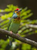 crimson-fronted barbet (Megalaima rubricapillus)