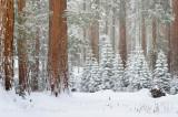 Sequoia Postcard