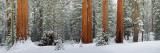 Grove of Wintering Sequoias