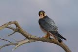 Barbary Falcon (Falco pelegrinoides)