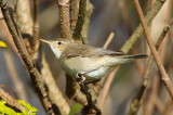 Eastern Olivaceous Warbler (Hippolais pallida)