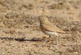 Bar-tailed Desert Lark (Ammomanes cinctura)