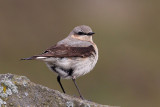 Northern Wheatear - Oenanthe oenanthe nominate