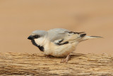 Desert Sparrow (Passer simplex)