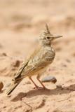Maghreb Lark (Galerida macrorhyncha)