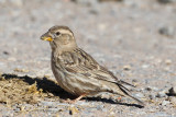 Common Rock Sparrow (Petronia petronia)