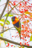 Rainbow lorikeet in flame tree
