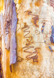 Scribbly bark gum close up
