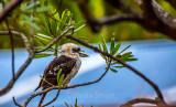 Kookaburra in protea