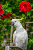 Sulphur crested cockatoo with hibiscus