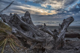 Dead tree on beach near Greymouth, New Zealand