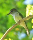 Lesser Antillean Flycatcher - Myiarchus oberi