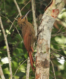 Northern Barred Woodcreeper - Dendrocolaptes certhia