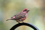Purple Finch - Haemorhous purpureus (male)