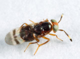 Microterys sp.