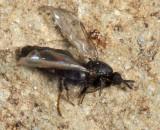 Scatopsinae