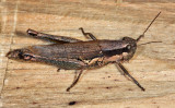 Olive-green Swamp Grasshopper - Paroxya clavuliger
