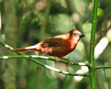 Red-throated Ant Tanager - Habia fuscicauda