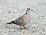 Eurasian Collared Dove - Streptopelia decaocto