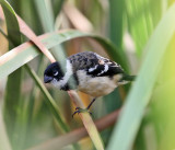 White-collared Seedeater - Sporophila torqueola