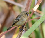 White-collared Seedeater - Sporophila torqueola (female)