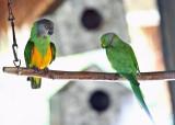 Senegal & Ring-necked Parakeet (caged birds at the resort)