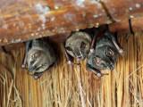 Artibeus lituratus (Great fruit eating bat)