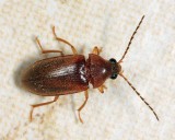 Ptilodactyla sp. (female)