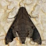 7851 - Mournful Sphinx Moth - Enyo lugubris