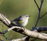 Yellow-rumped Warbler (Audubon's) - Setophaga coronata