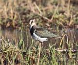 Massachusetts Rare Birds