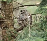 Barred Owl - Strix varia