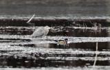 Great Blue Heron - Ardea herodias         & Wood Duck - Aix sponsa