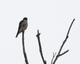 Merlin - Falco columbarius