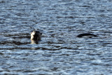 River Otter - Lontra canadensis