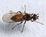 Apotropina sp.