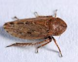 Stroggylocephalus mixtus