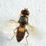 Oscinisoma alienum