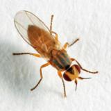 Pseudopachychaeta approximatonervis