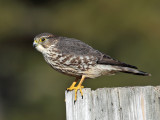 Merlin - Falco columbarius