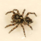 Jumping Spiders - Genus Pseudeuophrys