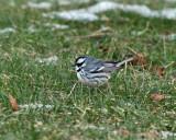 Black-throated Gray Warbler - Setophaga nigrescens