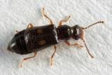 Ephelinus notatus