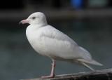 Glaucus Gull - Larus hyperboreus