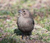 Brown-headed Cowbird - Molothrus ater (female)