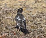 American Robin - Turdus migratorius (leucistic)