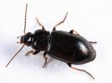 Bradycellus nigrinus