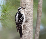 Hairy Woodpecker - Picoides villosus (female)