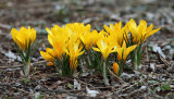 Dutch Yellow Crocus - Crocus flavus